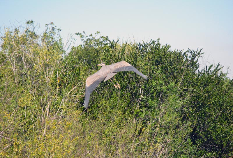 egret coming home s