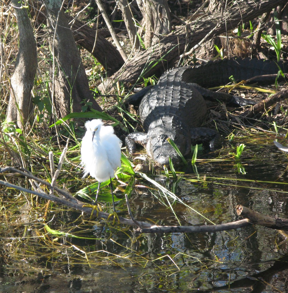 A snowy egret and alligator share a sunny spot at Shark Valley