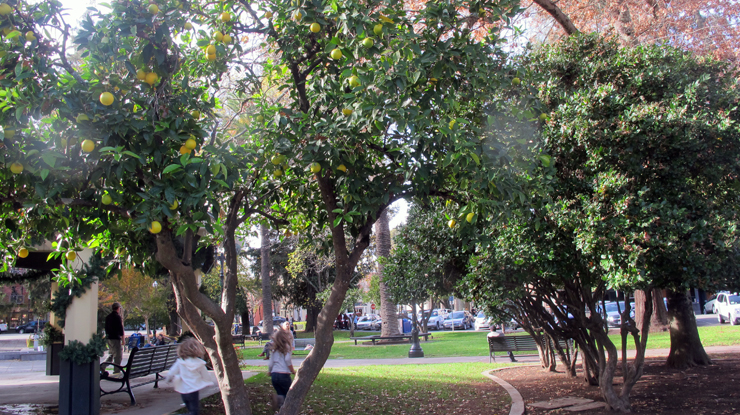 Healdsburg square orange trees s