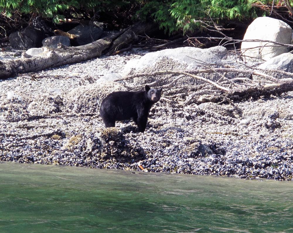 black bear Gone Fishin' Knight Inlet BC