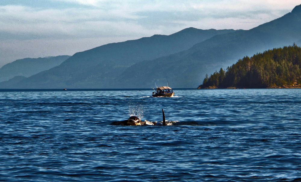 two orca Gone Fishin' Knight Inlet British Columbia