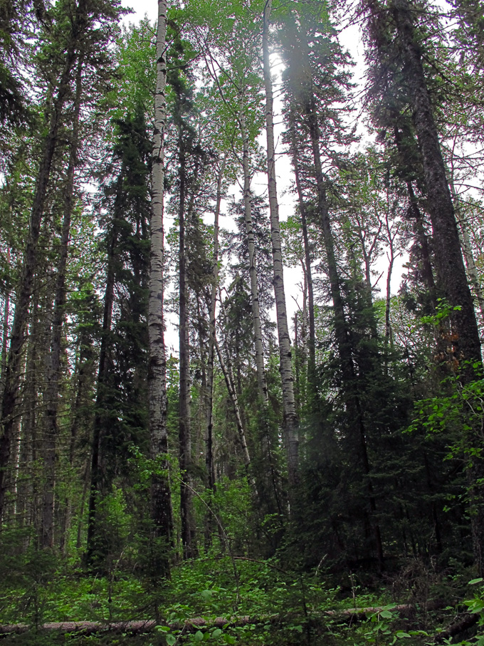 pine forest In search of a Legend - Grey Owl