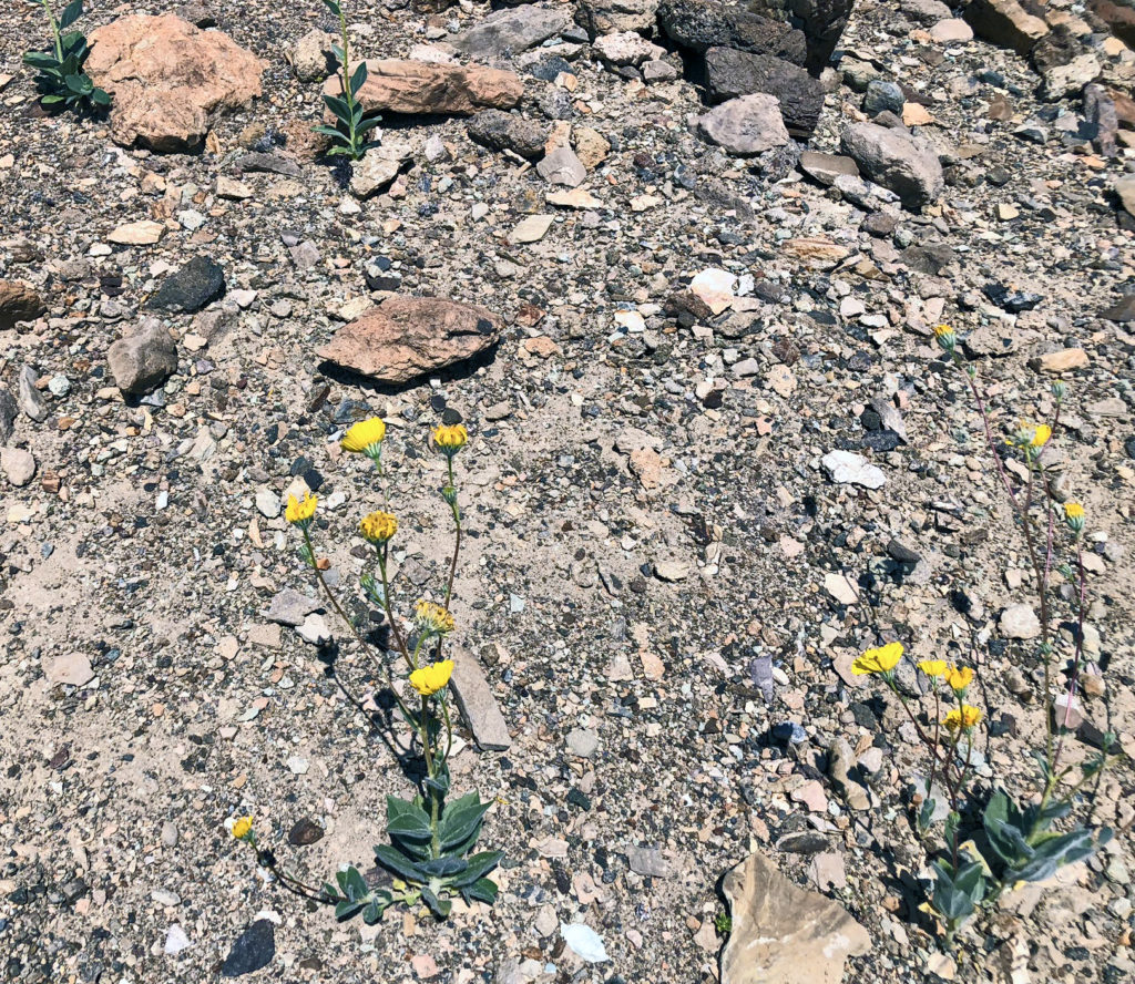 rocky ground with some tiny plants and two with bright yellow flowers