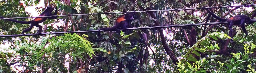 three howler monkeys walk along a telephone line