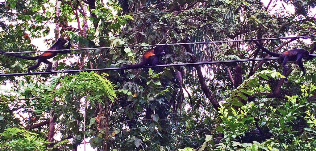 three howler monkeys walk along a telephone line