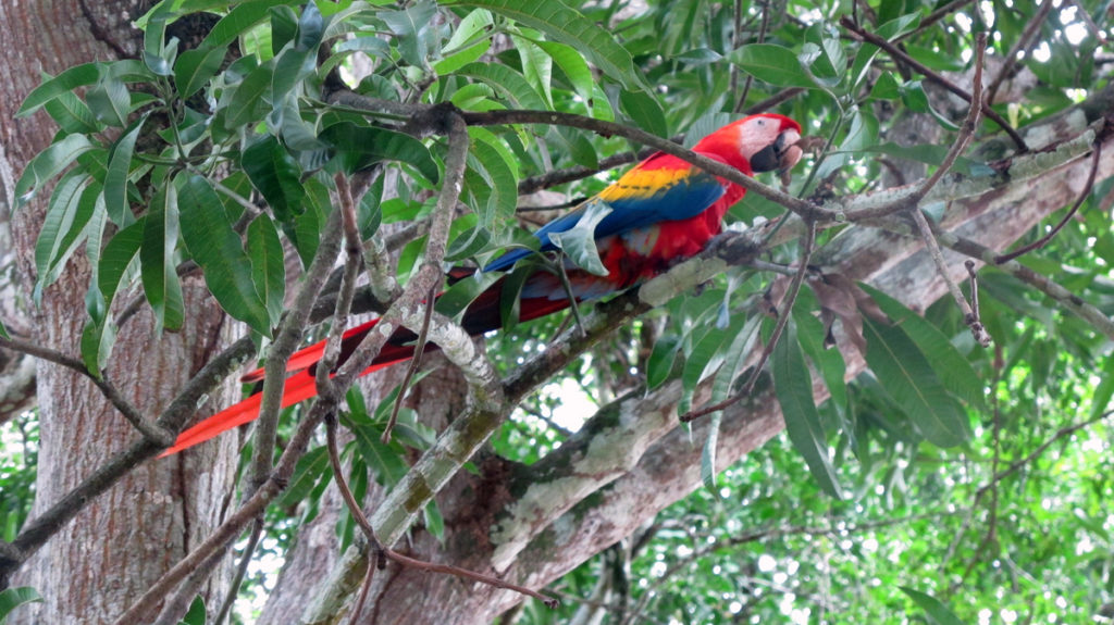 red and blue macaw in a green tree