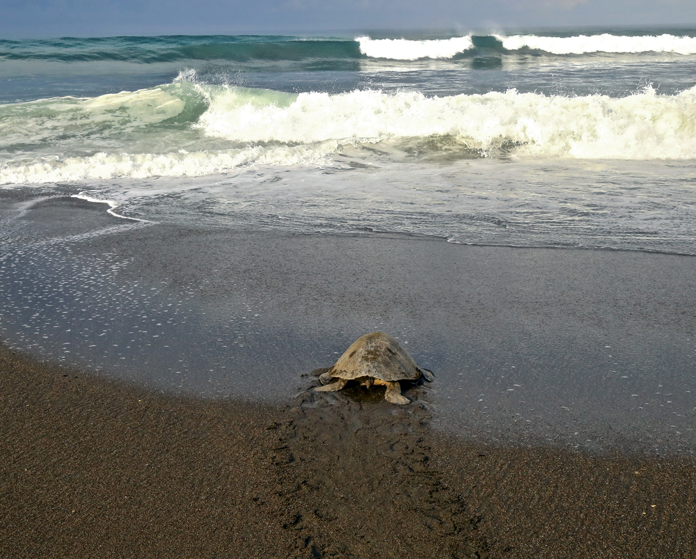 a lone turtle returns to the water